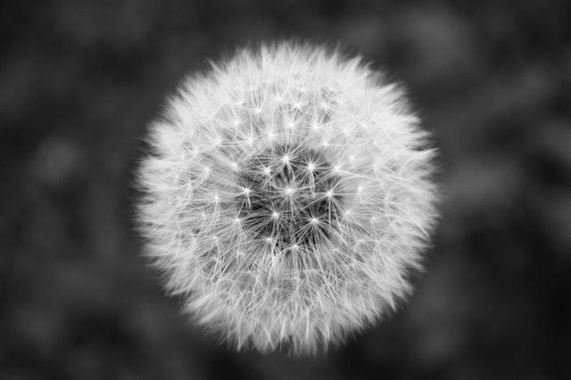 Pusteblume als Schwart-Weiß-Bild
